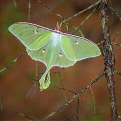Luna Moth Puzzles (coming soon)