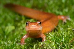Gyrinophilus porphyriticus, spring salamander, Massachusetts, New England, Patrick Zephyr, stream, lungless salamander, amphibian