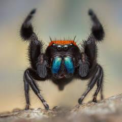 Phidippus apacheanus