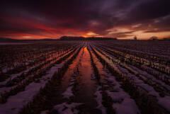 Alone in a Corn Field