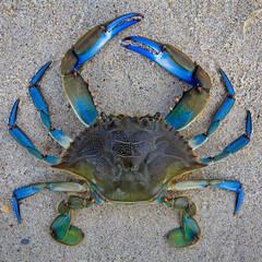 Blue Crab Puzzles