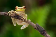 Cuban Treefrog 2 (Osteopilus septentrionalis)
