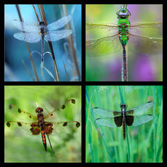 Dragonfly 1 Coaster Set