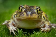 Scaphiopus holbrookii, eastern spadefoot. frog, toad, rare, amphibian, Massachusetts, New York, Patrick Zephyr