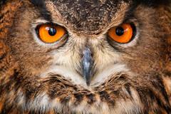 owl, eurasian eagle owl, bird, eyes,