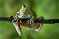 gray treefrog, treefrog, frog, Hyla versicolor, Massachusetts, Patrick Zephyr, amphibian