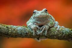 gray tree frog, autumn,Hyla versicolor, amphibian, tree frog, frog, Patrick Zephyr