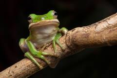 green treefrog, frog, amphibian, Florida, Patrick Zephyr. hyla cinerea