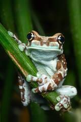 Mission golden-eyed tree frog, Amazon milk frog, tree frog, frog, amphibian, Patrick Zephyr