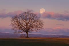 tree, dawn, moonset, pink, Hadley, Massachusetts, Patrick Zephyr