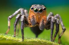 Salticidae (Jumping Spiders)