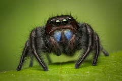 Unnamed Phidippus (male)