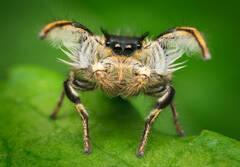 Phidippus Insignarius (adult male)