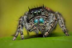 Phidippus johnsoni (female)