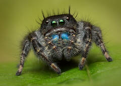 Phidippus johnsoni (female)