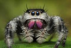 Phidippus regius (female)