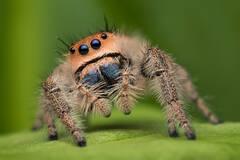 Phidippus regius (adult female)