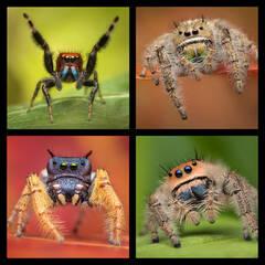 Phidippus 2 Jumping Spider Coaster Set