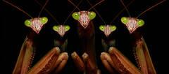 Praying Mantis Family Portrait-