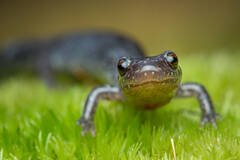 Redback Salamander (lead phase)