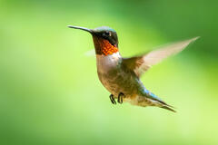 Ruby- throated hummingbird