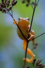 spring peeper,Pseudacris crucifer, treefrog, frog, amphibian, Patrick Zephyr, Massachusetts