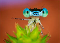 """They went that way"" Damselfly"