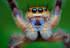 """""""TOUCH DOWN"""" Phidippus Princeps"""