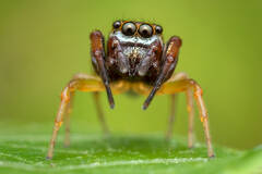 Zygoballus rufipes (Hammer Jaw Jumping Spider)