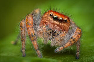 Phidippus cardinalis (adult female)