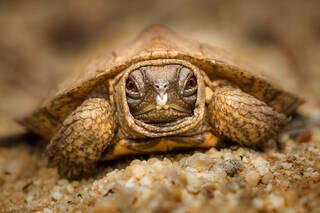 Wood Turtle (hatchling)