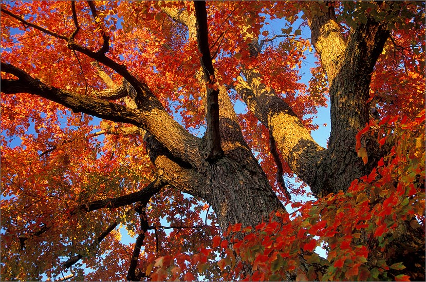 Autumn, red, maple, Pelham, Massachusetts , photo