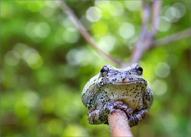 treefrog, gray treefrog, amphibian, hyla versicolor, bokeh, frog, photo