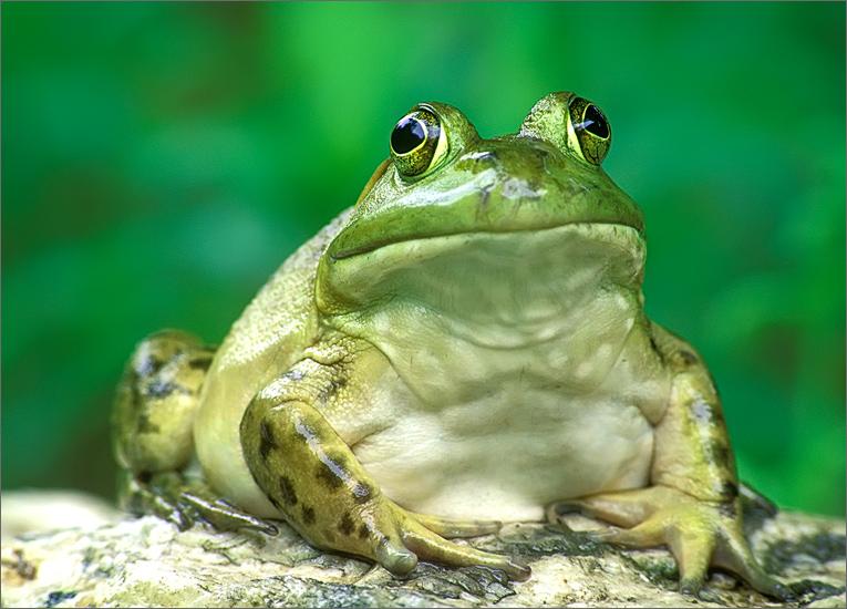 amphibian, herp, frog, toad, bull frog, rana catesbeiana, anura, photo