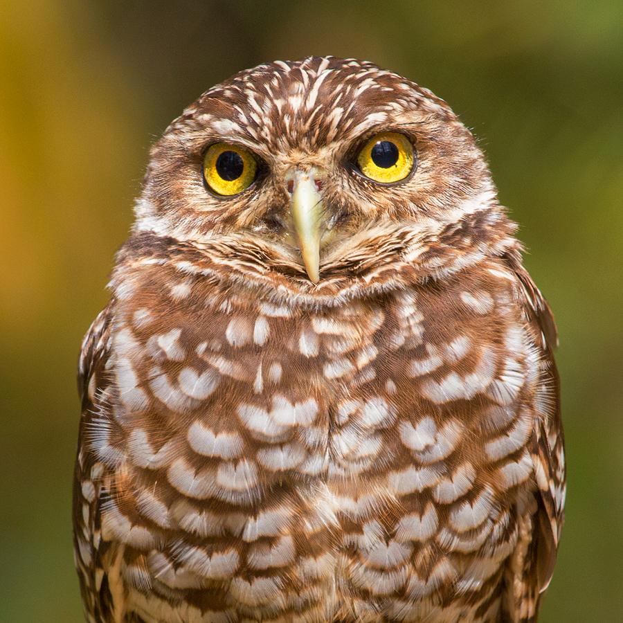 owl, portrait, burrowing owl, florida, patrick zephyr, photo
