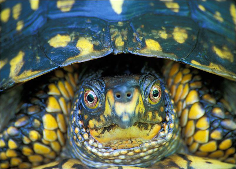 turtle, Terrapene c. carolina, box turtle, anura, photo