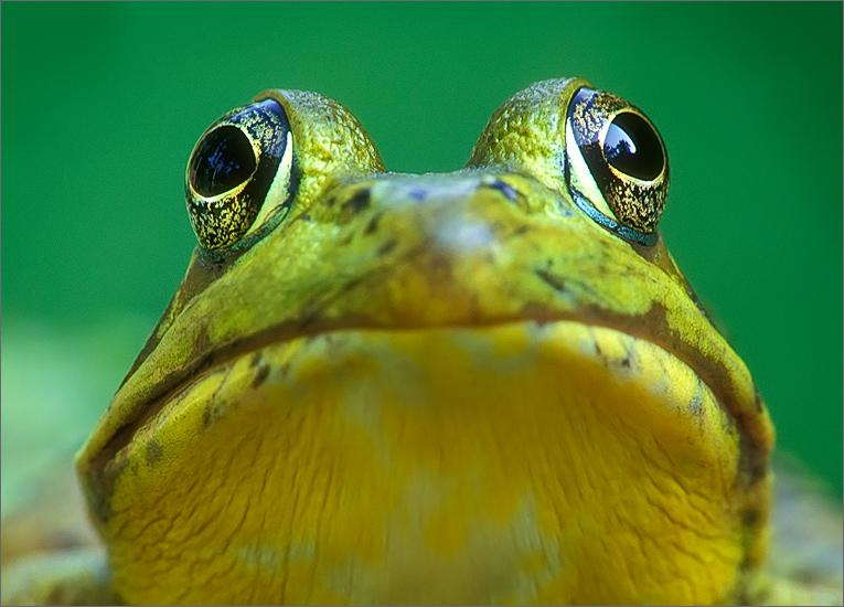 amphibian, herp, frog, toad, green frog, Rana clamitans melanota, anura, photo