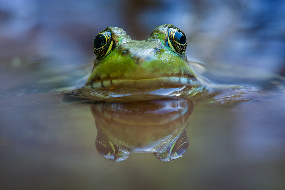 green frog, frog, green, massachusetts, amphibian, lithobates clamitans, photo