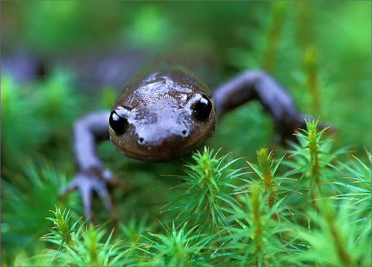 Jefferson Salamander photo