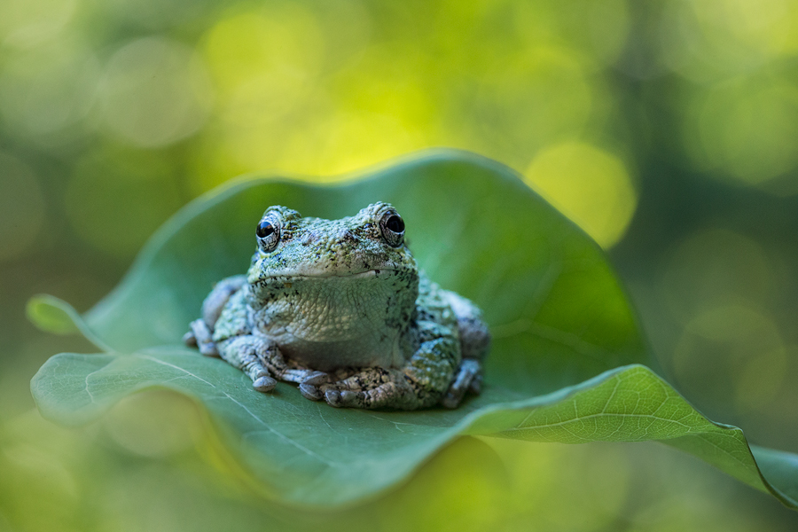 tree frog, gray tree frog, hylus versicolor, massachusetts, photo