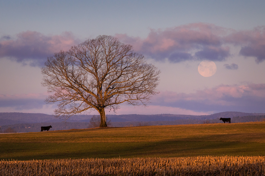 Hadley, Tree, Massachusetts, moonset, dawn, pink, Patrick Zephyr, cows, photo