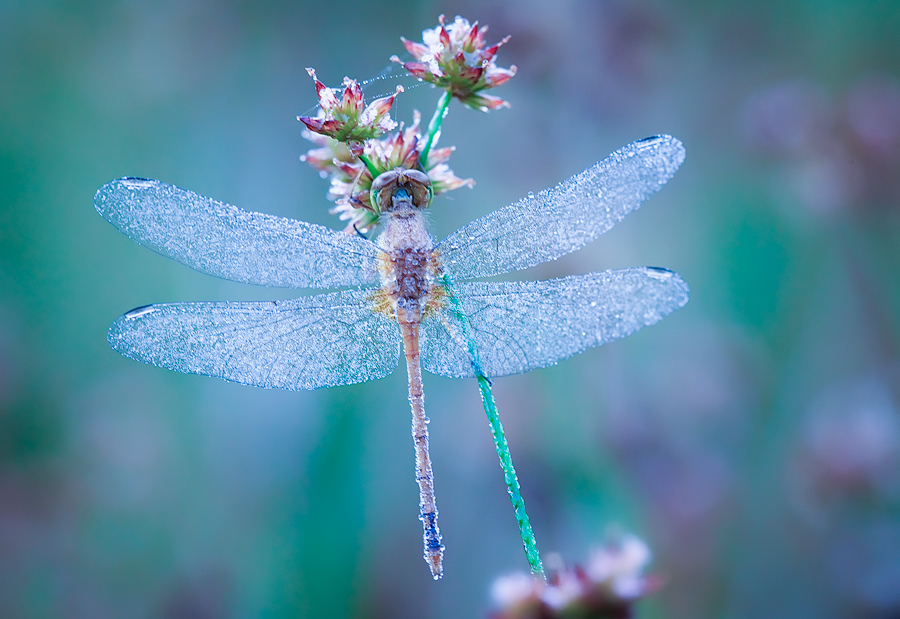 dragonfly, blue, meadow hawk, morning, dew, massachusetts, patrick zephyr, macro, photography, photo