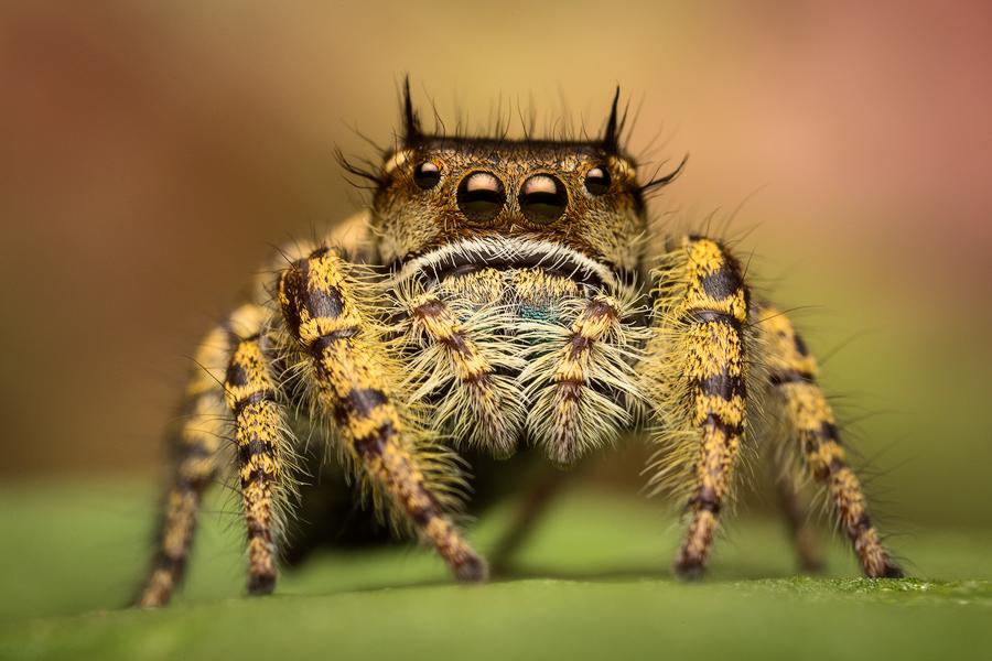 Phidippus arizonensis : Jumping Spiders
