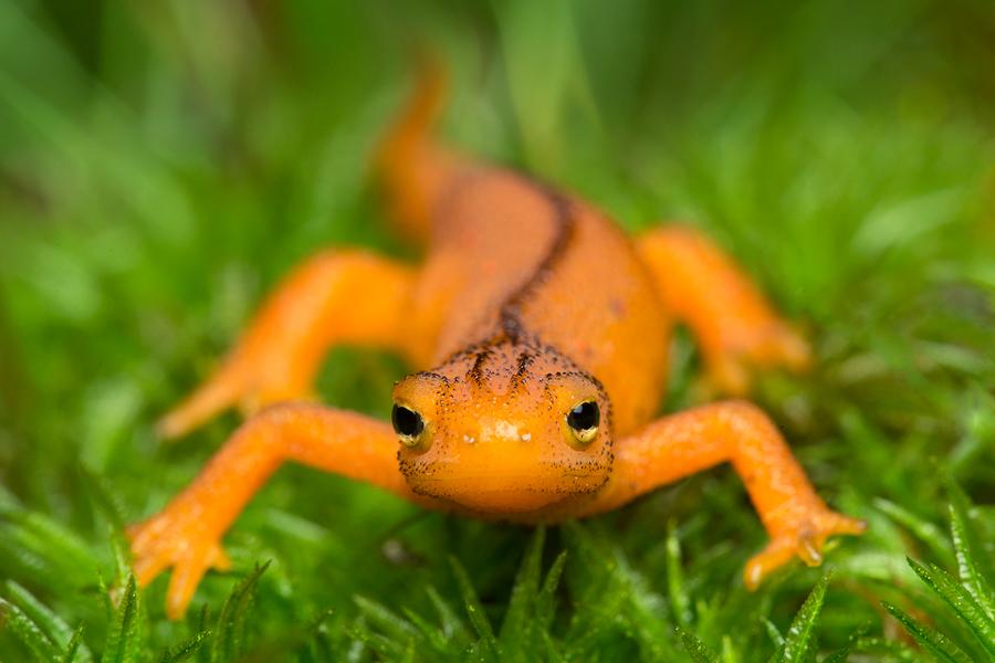 newt, salamander, red eft, orange, amphibian, massachusetts, Notophthalmus viridescent, eastern red-spotted newt, , photo