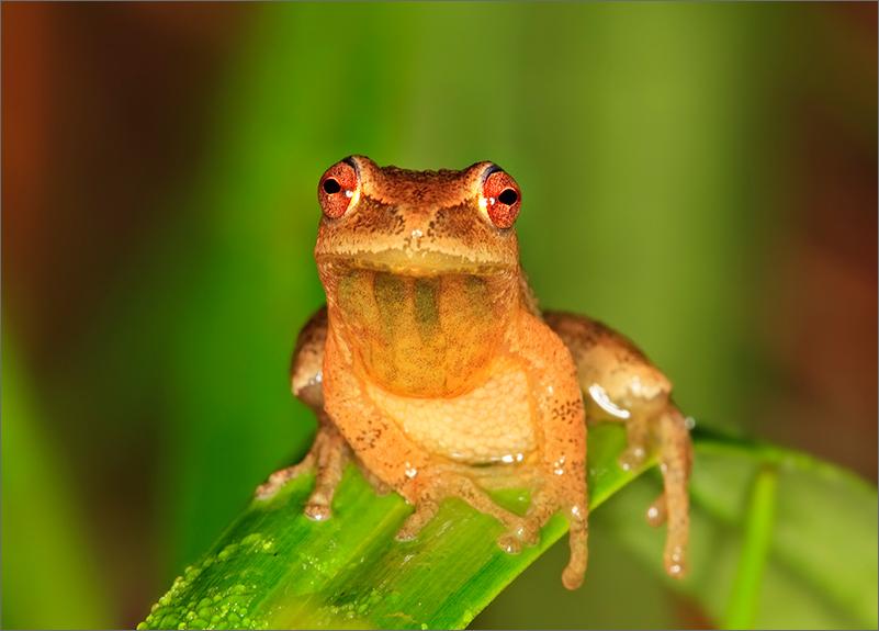 frog, treefrog, hyla crucifer, spring peeper, amphibian, photo