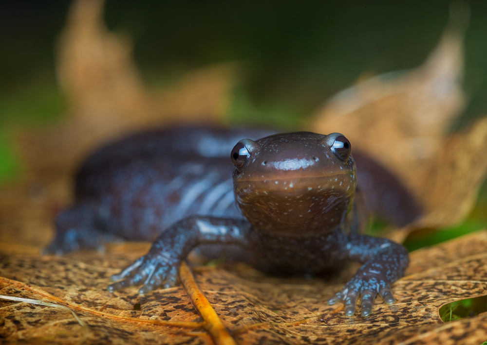 blue spotted salamander,Ambystoma laterale, salamander, amphibian, Patrick Zephyr, Massachusetts,