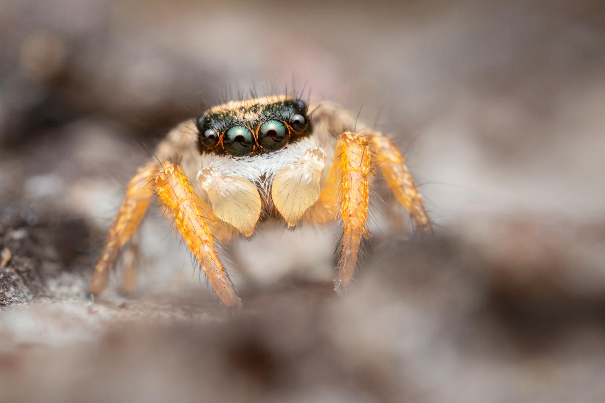 habronattus, jumping spider, salticidae, habronattus icenoglei, paradise spider, patrick zephyr