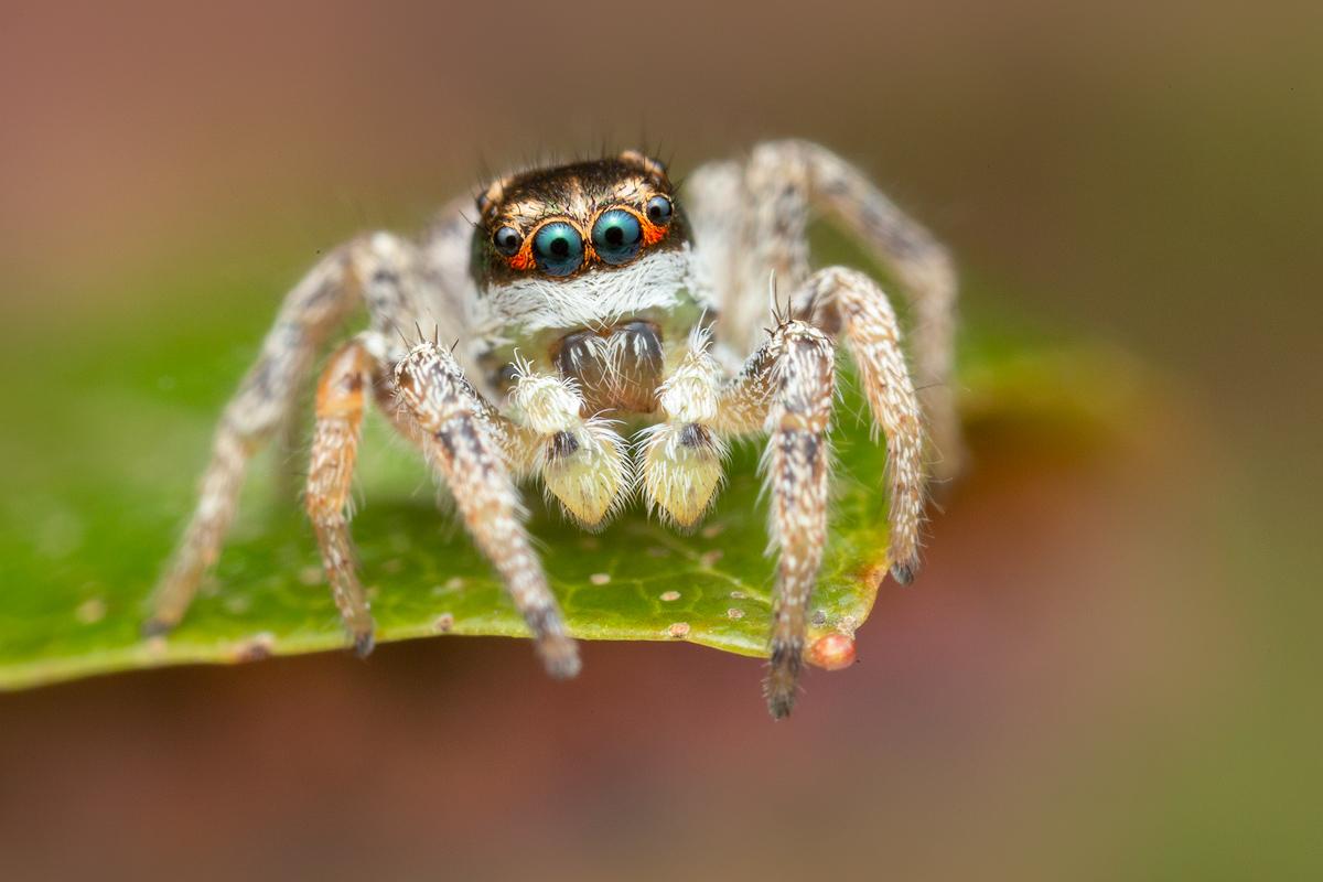 habronattus, jumping spider, salticidae, habronattus tarsalis, paradise spider, patrick zephyr