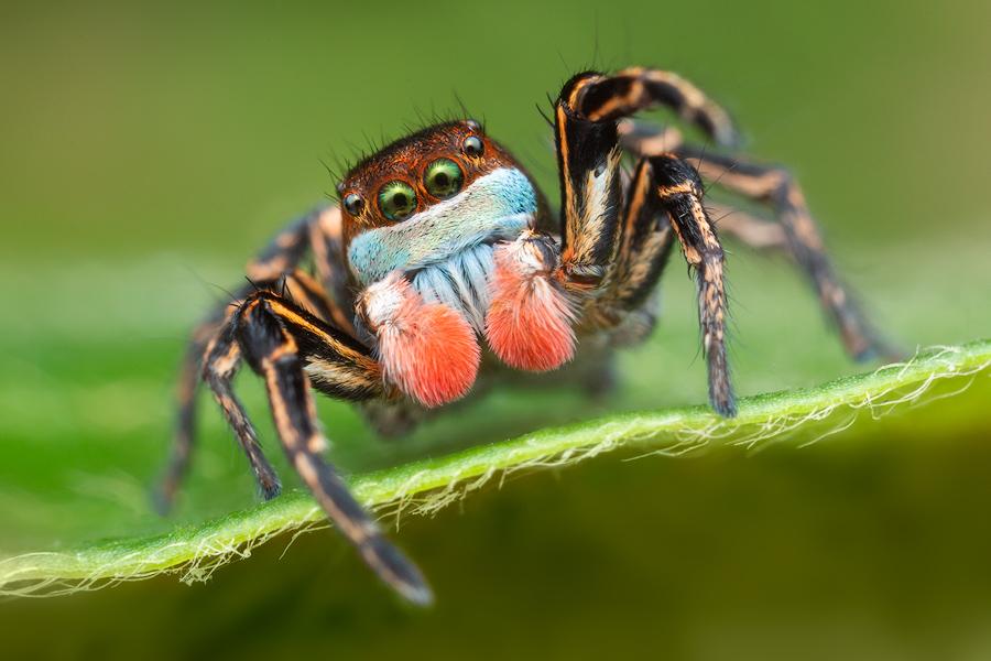 Habronattus, paradise spider, Habronattus americanus, jumping spider, salticidae, photo