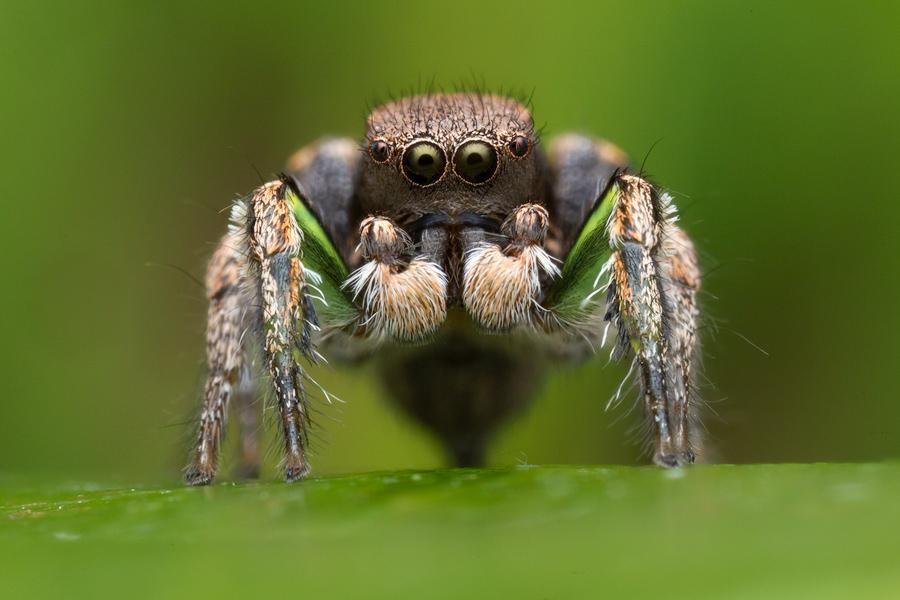 habronattus, paradise spider, habronattus calcaratus maddisoni, jumping spider, salticidae, massachusetts, photo